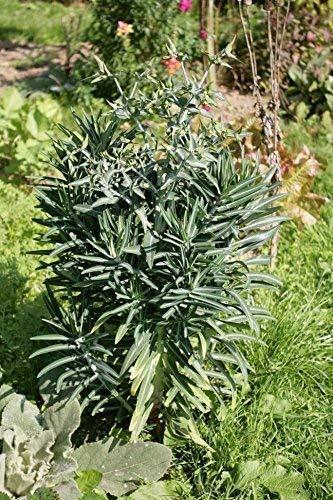 Seekay Euphorbia Lathryus - Wolfsmilch - 10 Samen (Samen Wolfsmilch)