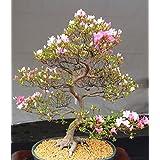10 Semillas de floración de cerezo japonés Bonsai, exótico Sakura Semillas Bonsai raras