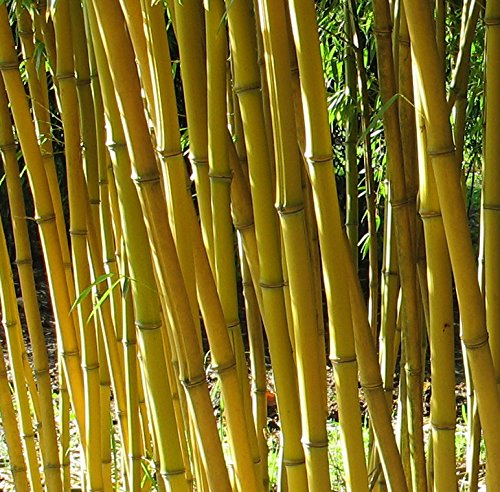 Phyllostachys aureosulcata 'Aureocaulis' - Goldener Peking Bambus - verschiedene Größen (100+cm - 5ltr. - 3-5 Triebe) (Bambus Golden)