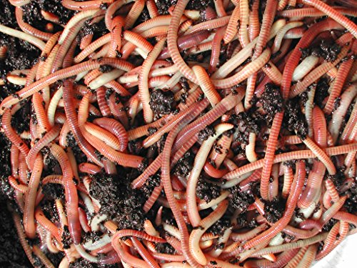 50g Tiger Composting Worms (Wormcity)