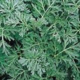 Kräutersamen - Wermut - 8000 Samen