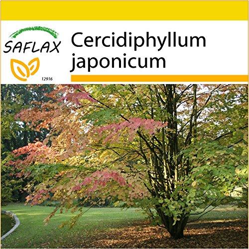 SAFLAX - Anzucht Set - Lebkuchenbaum - 200 Samen - Cercidiphyllum japonicum