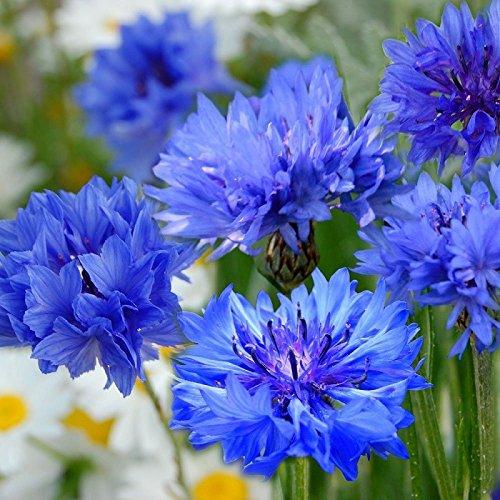 Centaurée - bleuet double varié 100 graines