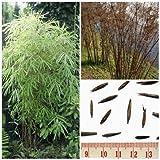 Bambus 'Fargesia fungosa' -15 Samen- (Winterhart bis -20 Crad)