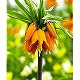 Potseed 10 PC/Bolso Semillas Corona Imperial 9 Colores Fritillaria Imperialis Semillas molidas CoverFlower Semillas Tiesto Ho