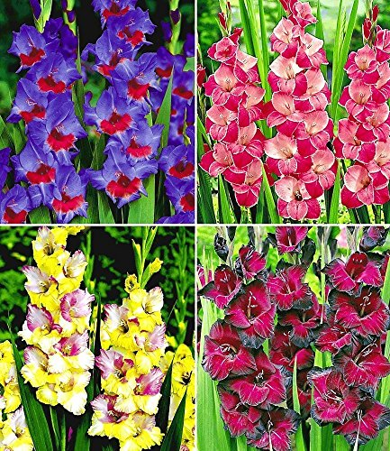 Riesen-Gladiolen-Kollektion,40 Zwiebeln Gladiolus Mischung Zigeunerbaron, Invitation,Mon Amour,Schönheit der Nacht