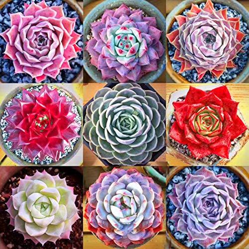 AGROBITS 6-Oboro Mese: 100P Varietà semi succulente Lithops Lig Pietre piante di cactus pianta esotica