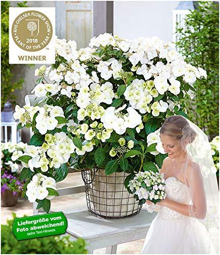 "BALDUR-Garten Girlanden-Hortensie""Runaway Bride®"", 1 Pflanze Hydrangea macrophylla Gartenhortensie winterhart Gewinner Chelsea Flower Show"
