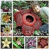 ChinaMarket 100pcs / bag Stapelia pulchella Seeds Mix Pelle di leopardo Piante Succulente Lithops fiori