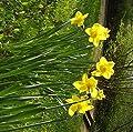 """Budget - Line : Narcissus - Osterglocke / Narzisse """" California """" 10 Blumenziebeln von GHA-Thulke auf Du und dein Garten"""