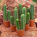 Trichocereus bridgesii, bolivianischer San Pedro, 12 Pflanzen von lophophora-williamsii.de auf Du und dein Garten