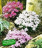 BALDUR-Garten Winterharter Bodendecker Grasstern Twinkle Star, 3 Pflanzen im Mix