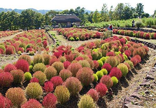 Semences de l'herbe 400 Impressionnant PINK PAMPAS GRASS Cortaderia Selloana Seeds décoration de jardin de bricolage!