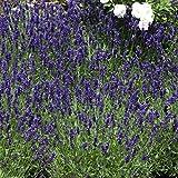 Amazon.de Pflanzenservice Stauden Echter Lavendel, Lavandula angustifolia,  6 Pflanzen, 7-9 cm Topf, 10 - 20 cm hoch, winterhart
