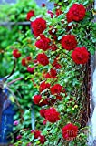 NooElec Seeds India Red Climbing Rose Flower Seeds