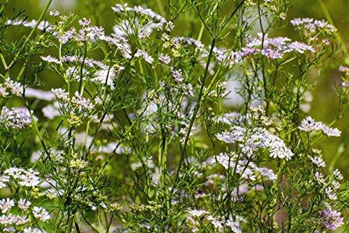 Koriander Jantar Coriandrum sativum var. microcephalum 200 Samen