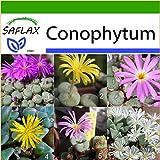 SAFLAX - Sukkulenten - Blühende Steine / Conophytum Mix - 40 Samen - Mit Substrat - Conophytum Mix
