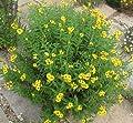 Winter-Estragon - Mexikanischer Estragon - Tagetes lucida - 20 Samen