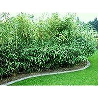 Bambus Fargesia Rufa 100 130 Cm 5 10 Halme Bambus Hecke Pflanze Blumen