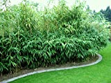 1 Pflanze 100 cm. Seltener Bambus Pseudosasa japonica Frosthart bis - 22 und Wuchs bis 10 Meter Höhe