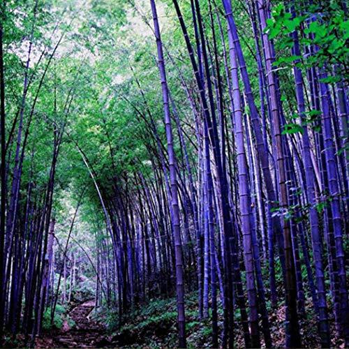begorey Garten - China Moso Bambus Samen Bunte Riesenbambus Samen schnelles Wachstum winterharte Pflanze für Garten Haus (20 Stk, Lila)