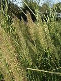 Staudenkulturen Wauschkuhn Calamagrostis arundinaceae var brachytricha (Achnatherum)- Silberährengras - Gras im 9cm Topf