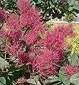Perückenstrauch Smokey Joe 40-60cm - Cotinus coggygria von Baumschulen auf Du und dein Garten