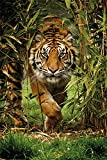 Tiger Bamboo - Raubkatzen Plakat Poster Druck - Größe 61x91,5 cm + 1 Ü-Poster der Grösse 61x91,5cm