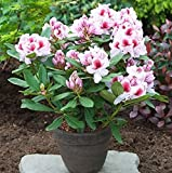Großblumige Rhododendron Belami® 50-60cm - Alpenrose
