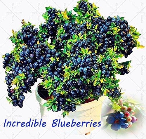 Légumes et graines de fruits graines de bleuets perle noire Blueberries DIY countyard Bonsai plantes Semences pour la maison et le jardin 100 graines