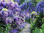 Wisteria macrostachya 'Blue Moon' (Blue Moon Wisteria) * Full sun to part shade * Zone 4-9 * 25' tall Cold-hardy to -40 degrees F with no loss of flowering ability!!! A remarkable cultivar of our native Kentucky Wisteria! Blooms 3 times each Summer! ...