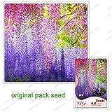 4 Samen/Pack, Bonsai Glyzinie Samen, Wisteria sinensis Samen, nach Hause Bonsai-Baum