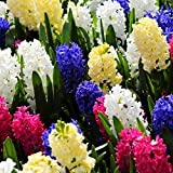 Humphreys Garden Hyacinth Hyazinthen Mixed x 10 Bulbs Blumenzwiebeln
