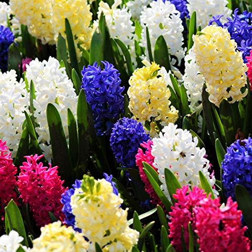 Humphreys Garden Hyacinth Hyazinthen Mixed x 10 Bulbs Blumenzwiebeln