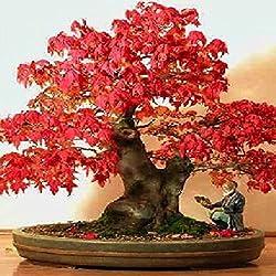 Arce rojo (Acer rubrum) - 20 semillas