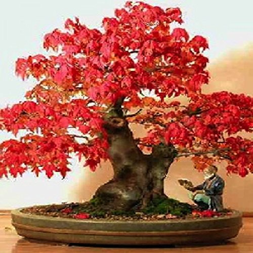tropica-lot-de-20-graines-de-bonsai-erable-rouge-acer-rubrum