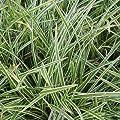 lichtnelke - Japansegge (Carex morrowii ssp. foliosissima ICEDANCE) von Lichtnelke Pflanzenversand auf Du und dein Garten