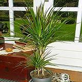 Hochstämmiger Drachenbaum - 1 pflanze