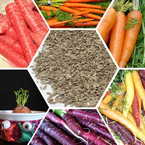 Carrot Seed Radis Seed 200 Graines Jardin Décoration Graines Bonsai Fleur