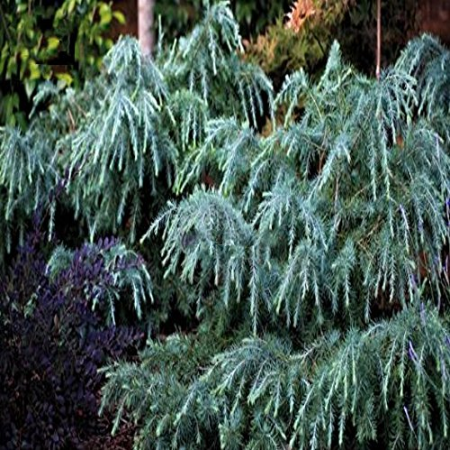 Himalaja Zeder Cedrus deodara Feelin Blue Grünblaue Zweige Kleinbleibend – verschiedene Größen