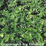 10x Schattengrün Dickmännchen - Pachysandra terminalis