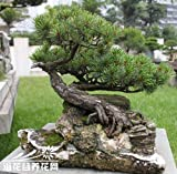 Keland Garten - Japan Zwerg Mädchenkiefer (Pinus parviflora) Baumsamen Bonsai immergrün winterhart mehrjährig, ideal für Pflanzgefäße und Garten