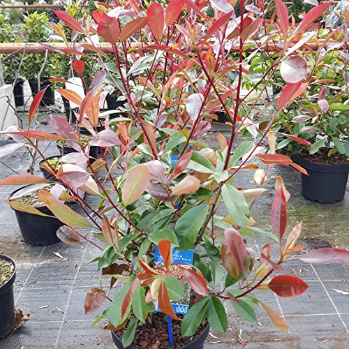 photinia-fraseri-red-robin-bushy-5-litre-plants-exactly-as-in-the-picture-top-quality