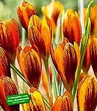 Krokus'Orange Monarch',15 Zwiebeln