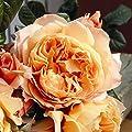 lichtnelke - Nostalgie- Edelrose Capri® Duftrose 2L von Lichtnelke Pflanzenversand auf Du und dein Garten