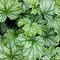 lichtnelke - Purpurglöckchen (Heuchera) Paris von Lichtnelke Pflanzenversand auf Du und dein Garten