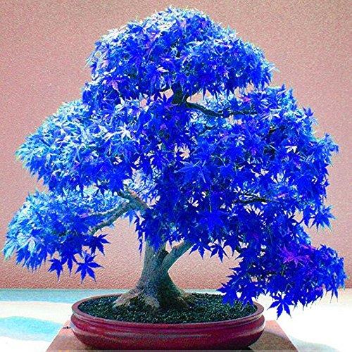 Echt japanischen Geist Blau Maple Samen Seltene Balkon Bonsai-Baum-Pflanzen für Hausgarten 20 Samen / pack