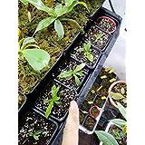 Jarra Plant (Nepenthes–9cm Pot