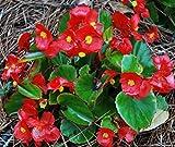 Cera Begonia semi, rossi Begonie, semi Heirloom di fiori, non-OGM annuale, 75ct