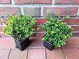 50 Ilex crenata 'Glorie Gem', Höhe: 15-20 cm, buschig, Alternative Buchsbaum